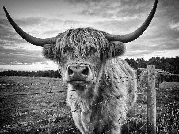 highland-cow-1514300_1280