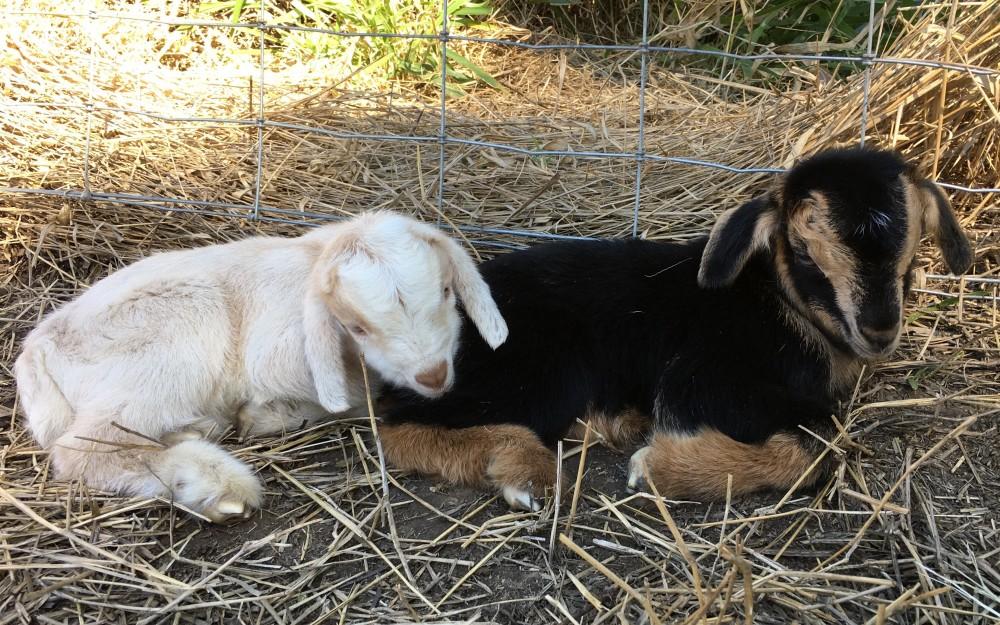 baby-goats-murphy-mac